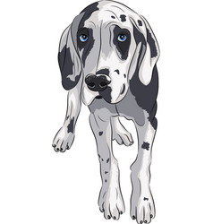 Puppy of the great dane vector