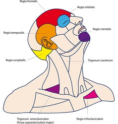 Areas of the human head vector image