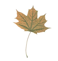 one leaf vector image
