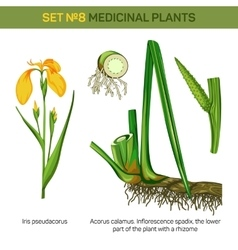 Medical iris pseudacorus or yellow and water flag vector