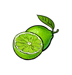 Whole and half unpeeled ripe lime sketch vector