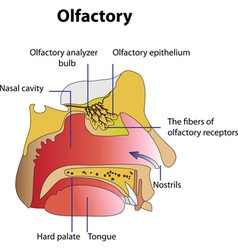 The human olfactory vector