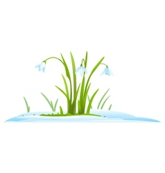 Snowdrops in snow vector