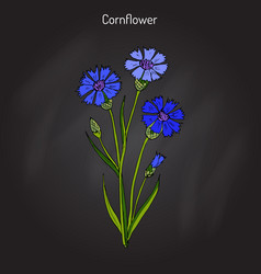 Cornflower centaurea cyanus  medicinal and honey vector