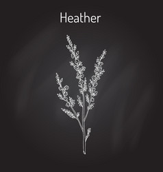 heather calluna vulgaris branch with leaves and vector image vector image