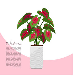 caladium indoor plant in pot banner vector image