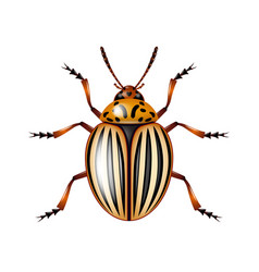 colorado beetle isolated on white vector image vector image