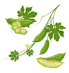 Bitter melon with green leaf and flower on brunch vector
