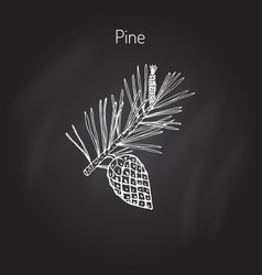 Pine branch with pine cone vector