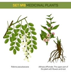 Herbal robinia pseudoacacia or black locust branch vector