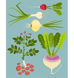 Growing root vegetables with greens collection vector