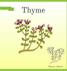 Aromatic herbs collection flowering thyme vector