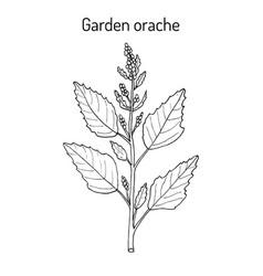 Garden orache atriplex hortensis or red arrach vector