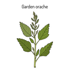 Garden orache atriplex hortensis or red arrach vector