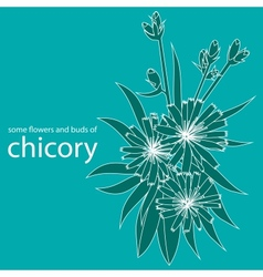 some flowers and buds of chicory vector image vector image