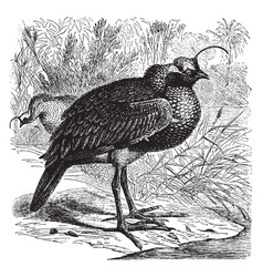 Horned screamer vintage vector