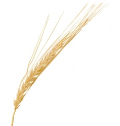 Wheat ear vector