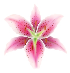 Pink lily on a white background vector