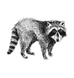 hand drawn raccoon vector image