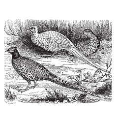 Common pheasants vintage vector