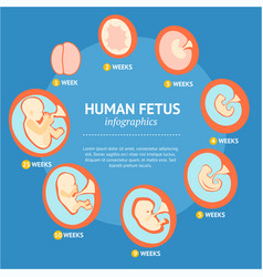 pregnancy fetal growth stage development vector image vector image