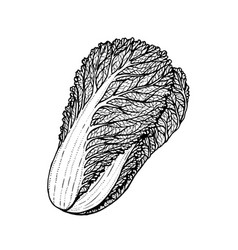 Hand drawn of napa cabbage vector