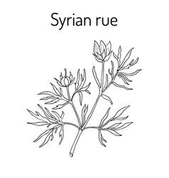 Syrian rue peganum harmala medicinal plant vector