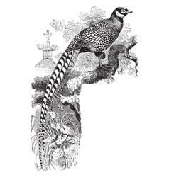 Reeves pheasant vintage vector