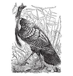 Wild turkey vintage vector