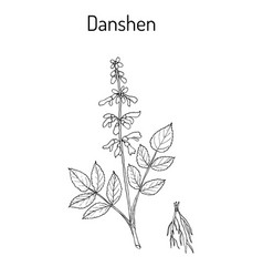 Danshen salvia miltiorrhiza called also chinese vector