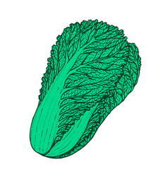 Hand drawn of napa cabbage vector