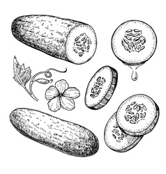 Cucumber hand drawn set isolated cucumber vector