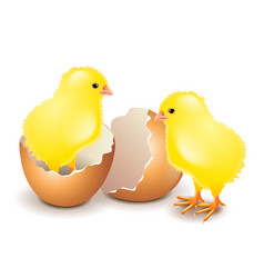 yellow chicken in egg isolated on white vector image