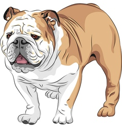 Dog english bulldog breed vector