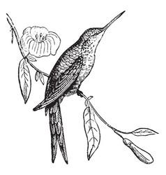 Columbian thornbill vintage vector