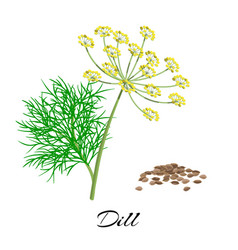 Fresh dill isolated on white background vector