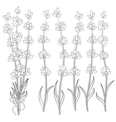 set of black and white images of lavender sprigs vector image vector image