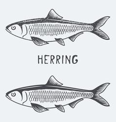 Herring vector image vector image