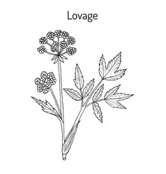 Lovage levisticum officinale culinary and vector