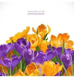 Spring yellow and violet crocuses background vector image