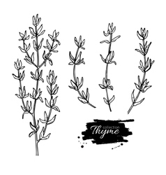 Thyme drawing set isolated thyme plant and vector