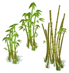 Bamboo on white background isolated vector image vector image