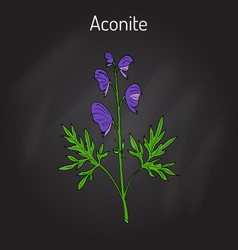 Aconite aconitum napellus  flowering plant vector