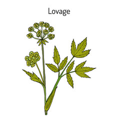 lovage levisticum officinale culinary and vector image vector image