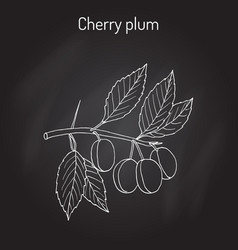 Cherry plum prunus cerasifera branch with fruits vector