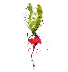 Watercolor of radish vector image vector image