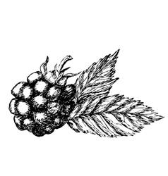 Blackberry hand drawn sketch vector image