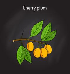 Cherry plum prunus cerasifera branch with fruits vector