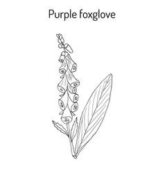 foxglove digitalis purpurea medicinal and vector image vector image