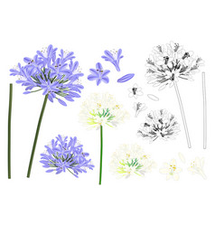 blue purple agapanthus outline vector image